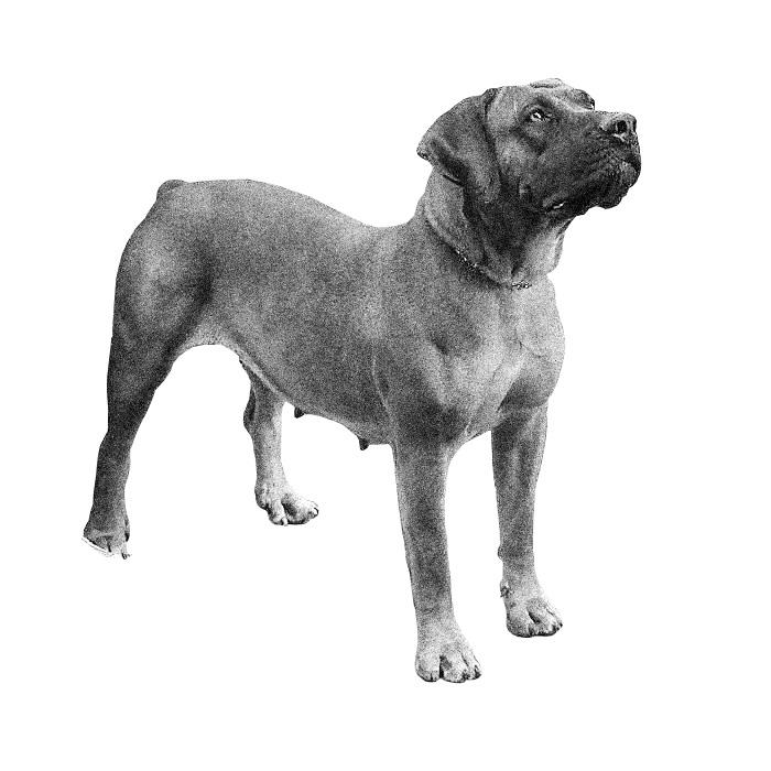 Boerboel Breed Standard Illustration