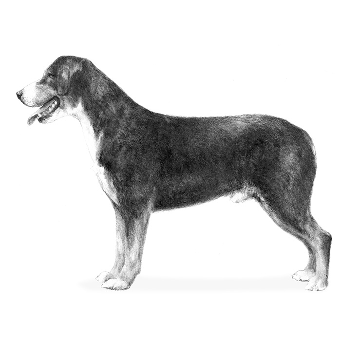 Entlebucher Mountain Dog Breed Standard Illustration