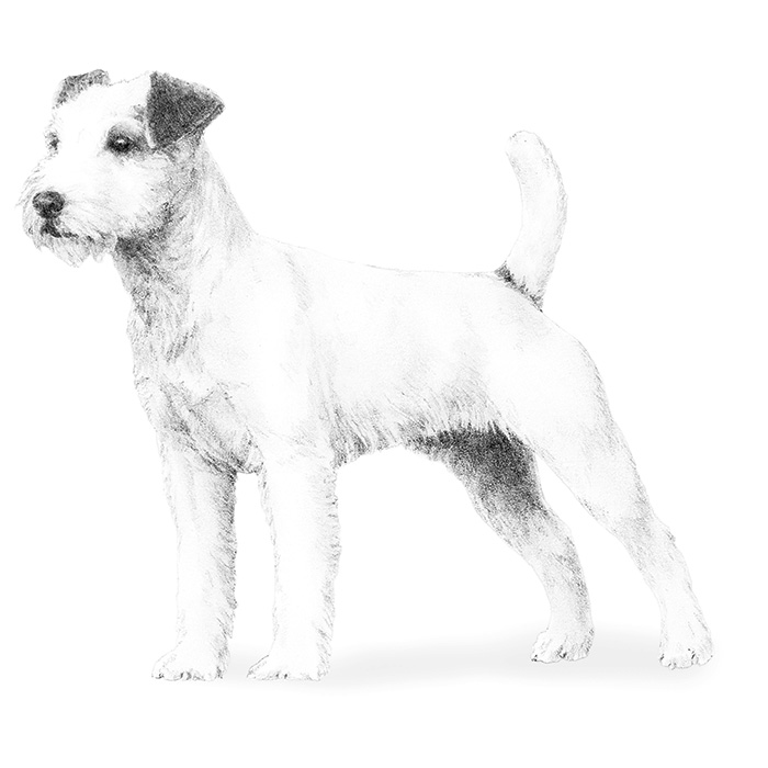 Parson Russell Terrier Breed Standard Illustration