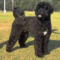 Petit Basset Griffon Vendeen Puppies Vs Portuguese Water Dog