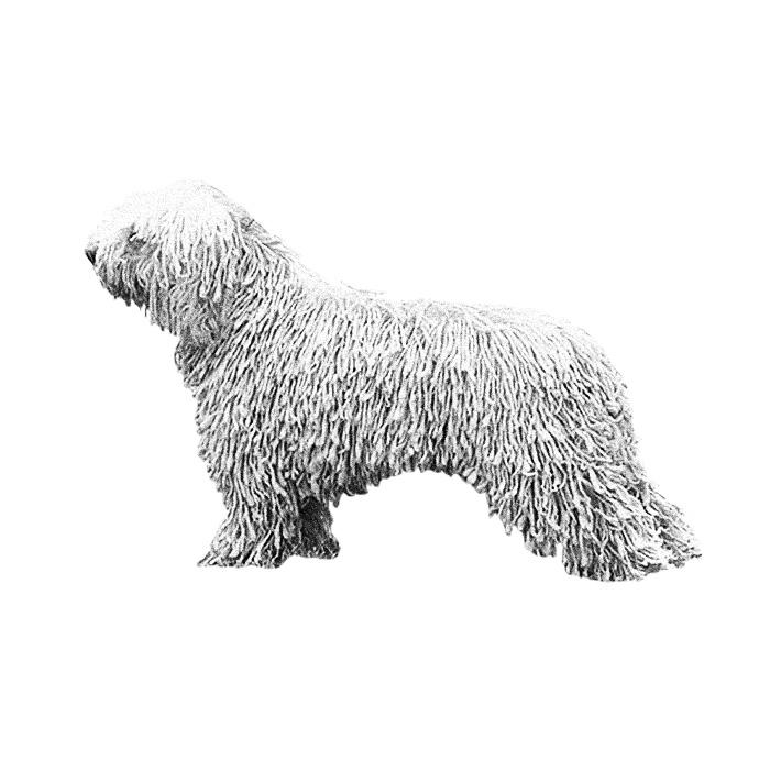 Spanish Water Dog Breed Standard Illustration