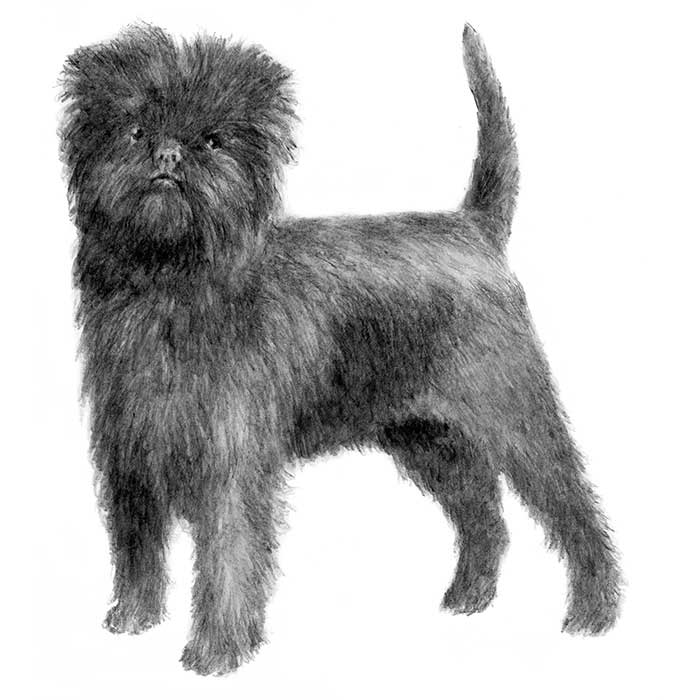 Affenpinscher Breed Standard Illustration