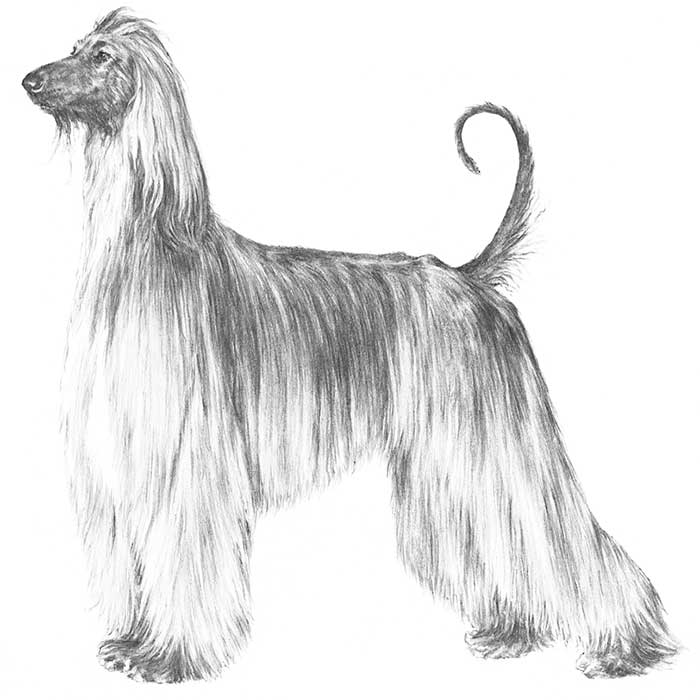 Afghan Hound Breed Standard Illustration