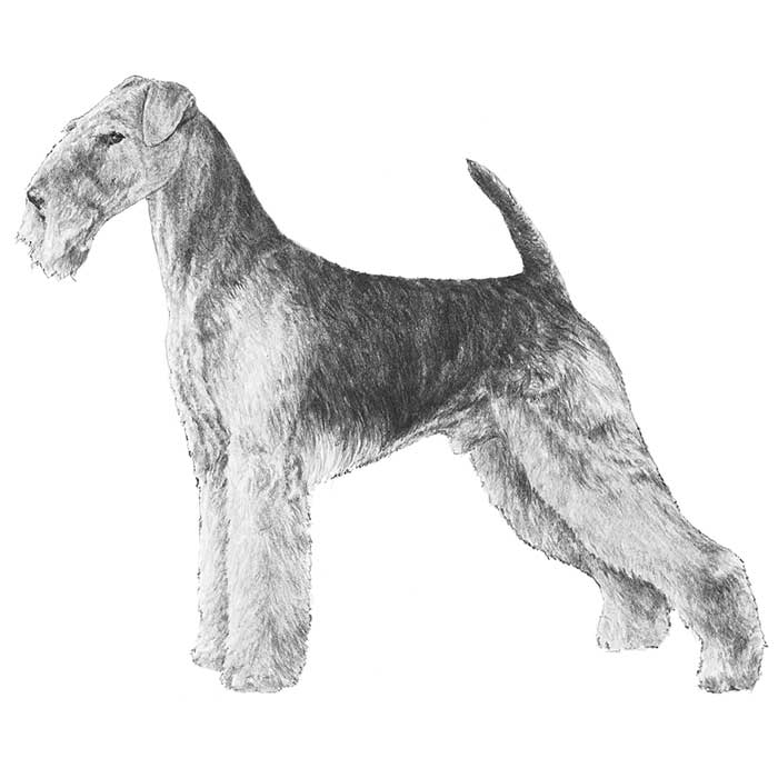 Airedale Terrier Breed Standard Illustration