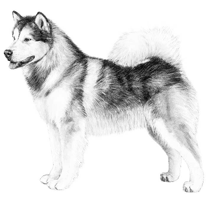 Alaskan Malamute Breed Standard Illustration