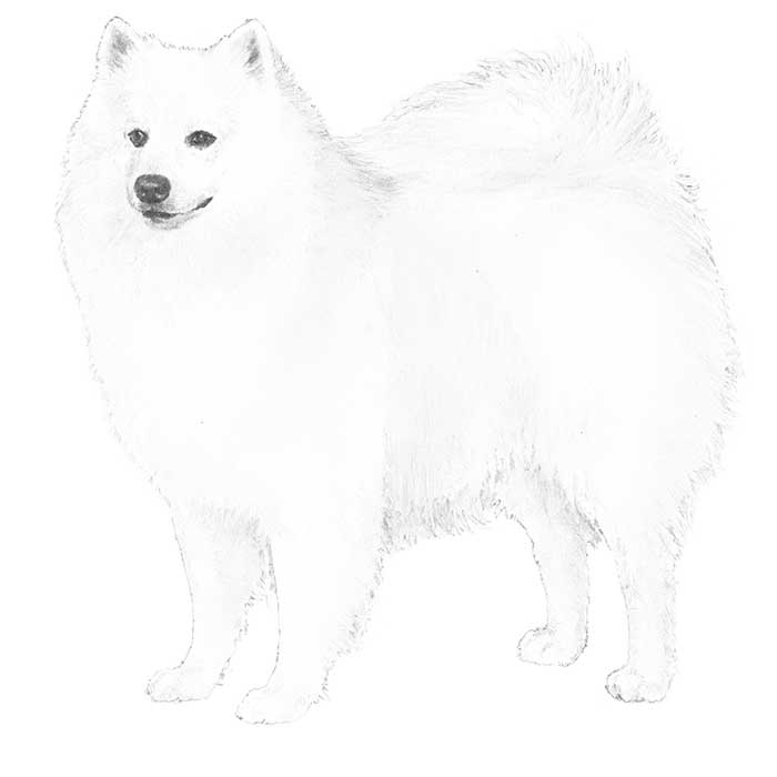 American Eskimo Dog Breed Standard Illustration