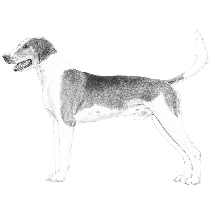 American Foxhound Breed Standard Illustration