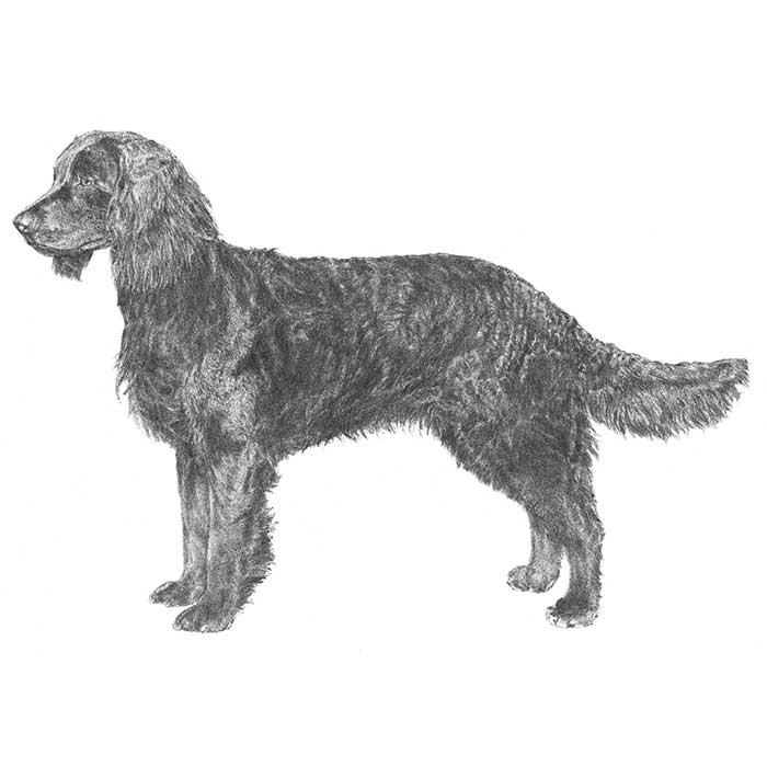 American Water Spaniel Breed Standard Illustration
