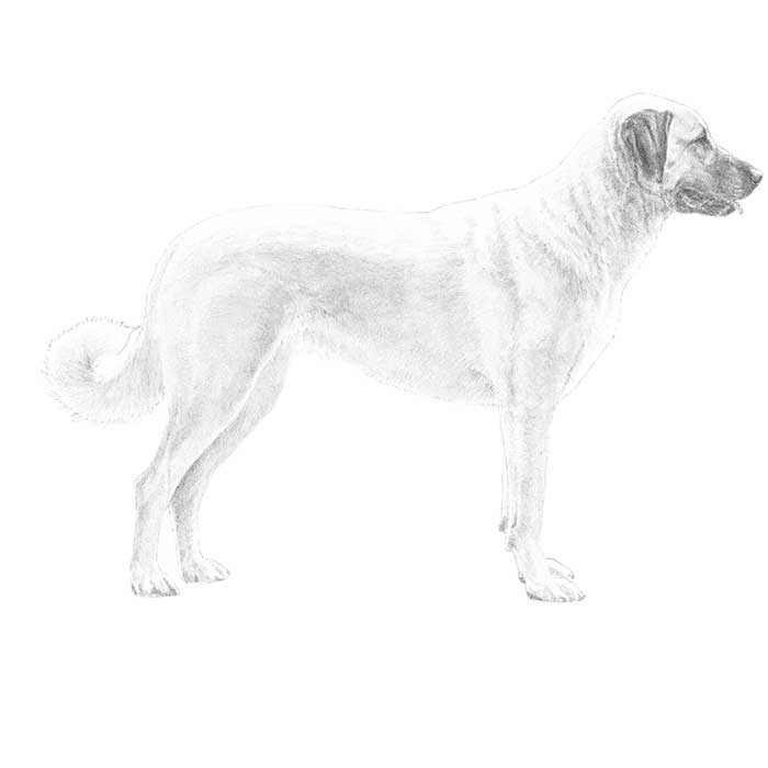 Anatolian Shepherd Dog Breed Standard Illustration