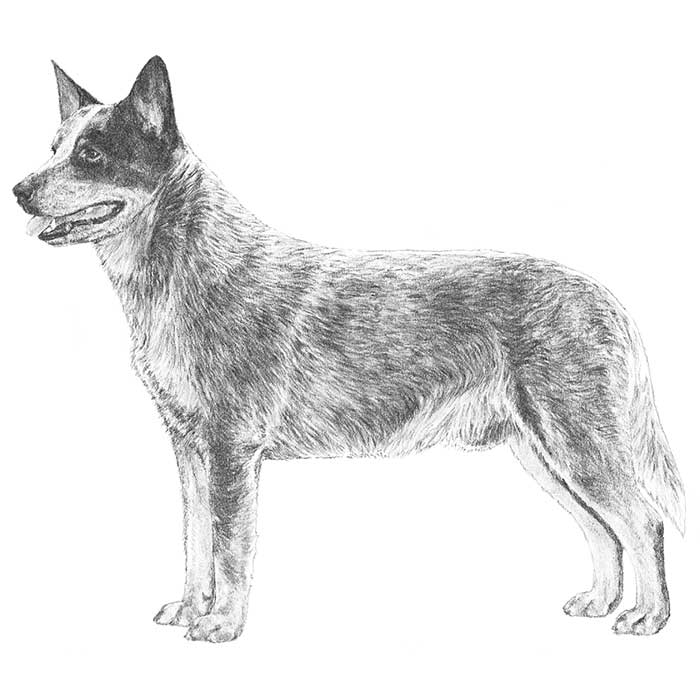 Australian Cattle Dog Breed Standard Illustration