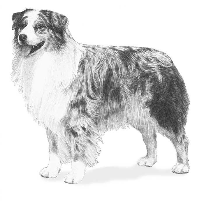 Australian Shepherd Breed Standard Illustration