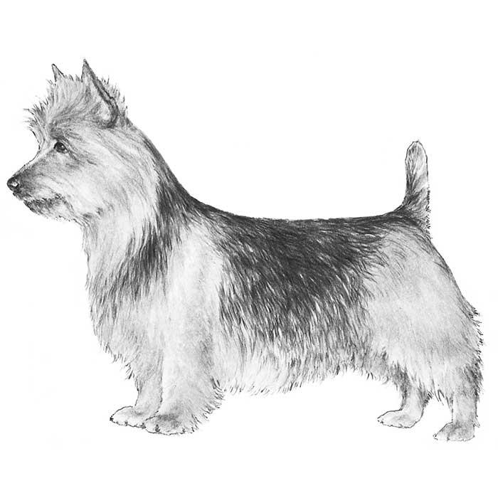 Australian Terrier Breed Standard Illustration