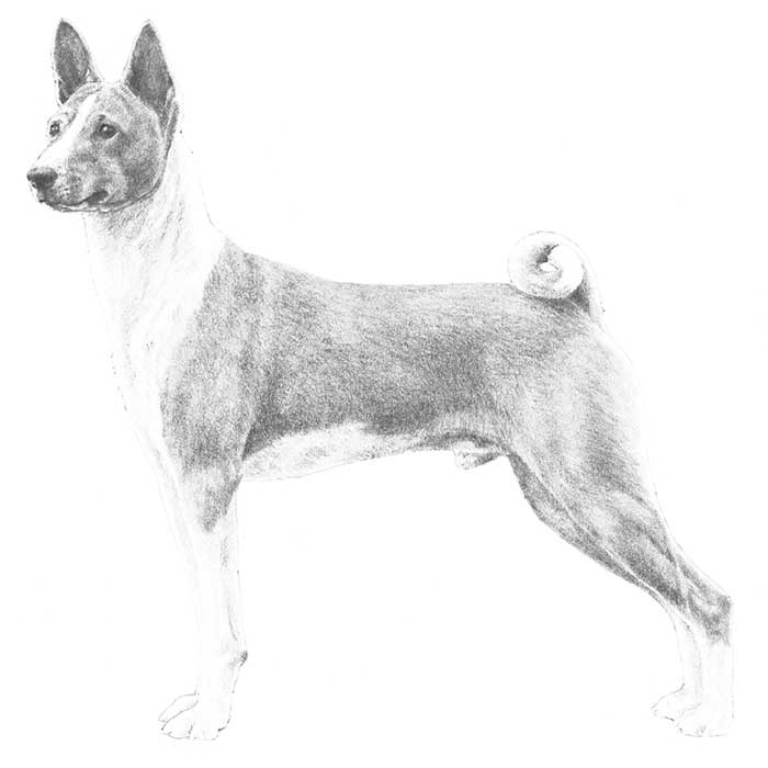 Basenji Breed Standard Illustration