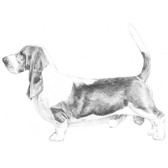 Basset Hound Breed Standard Illustration