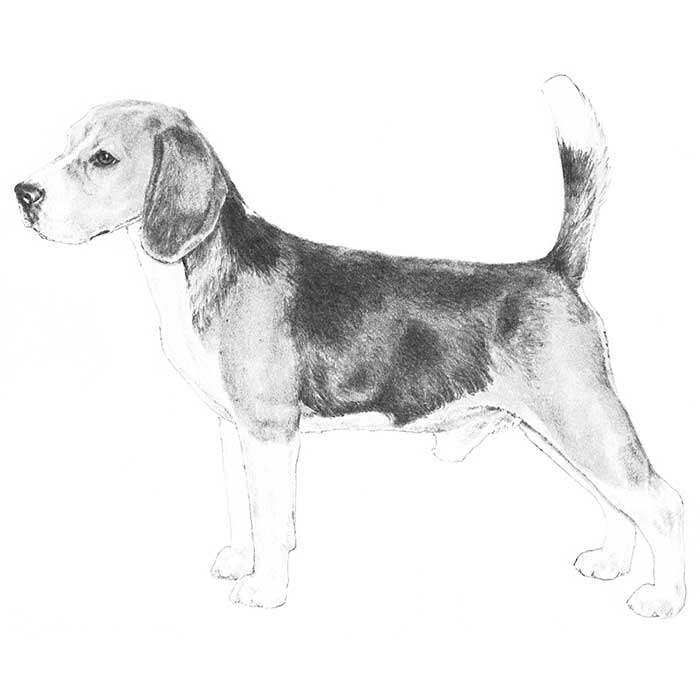 Beagle Breed Standard Illustration