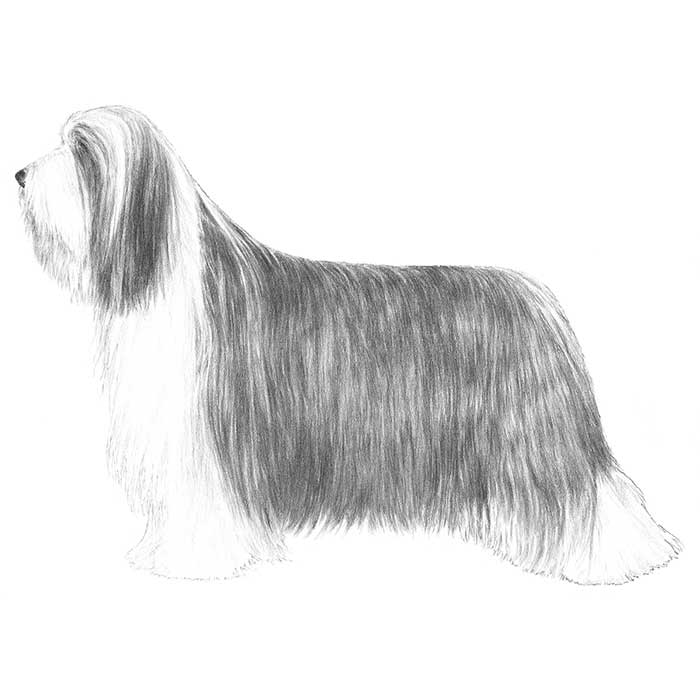 Bearded Collie Breed Standard Illustration