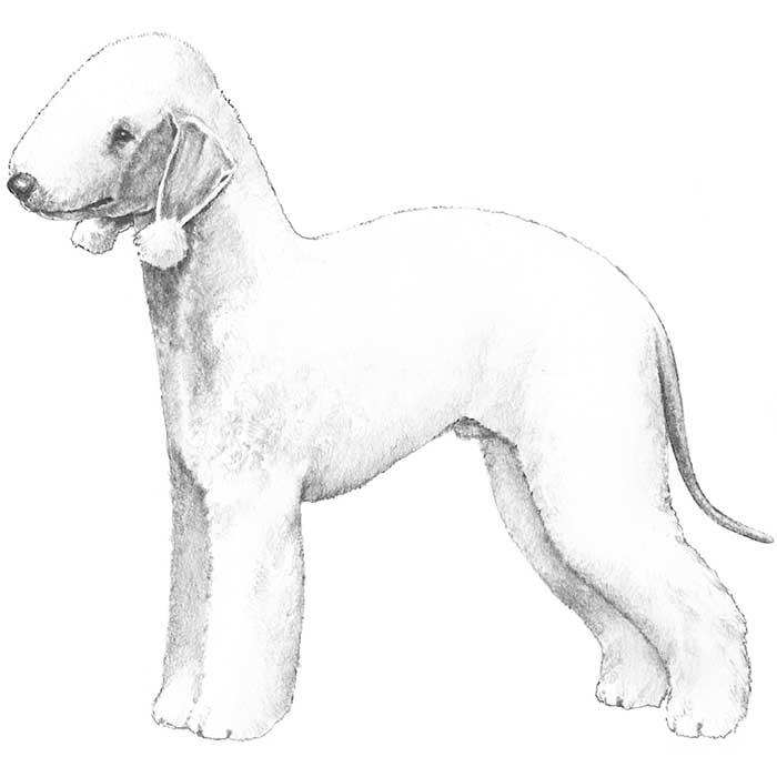 Bedlington Terrier Breed Standard Illustration