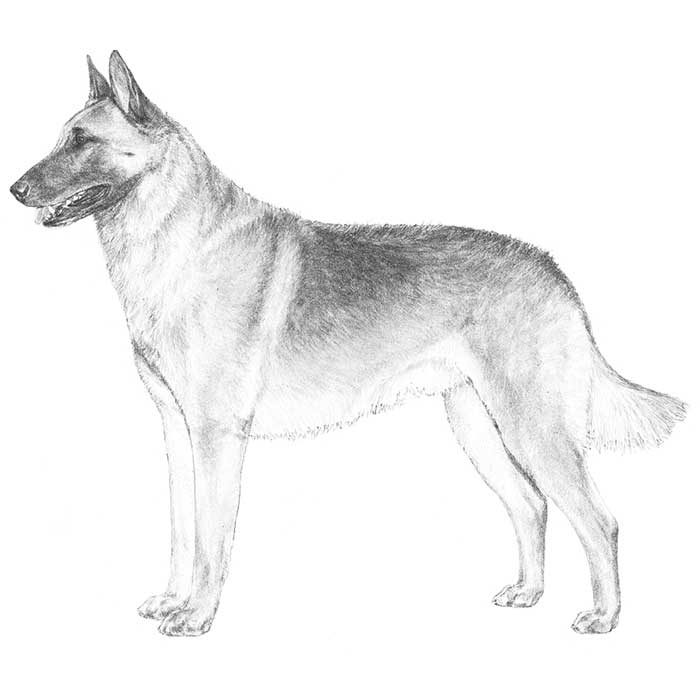 Belgian Malinois Breed Standard Illustration