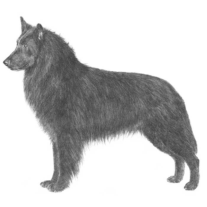 Belgian Sheepdog Breed Standard Illustration