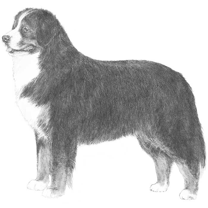 Bernese Mountain Dog Breed Standard Illustration