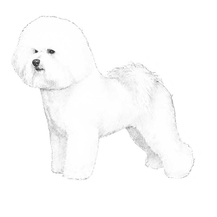 Bichon Frise Breed Standard Illustration