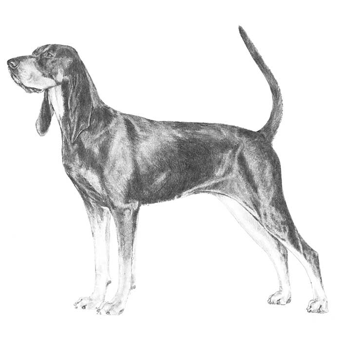 Black and Tan Coonhound Breed Standard Illustration