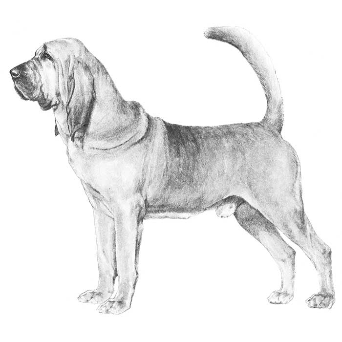 Bloodhound Breed Standard Illustration