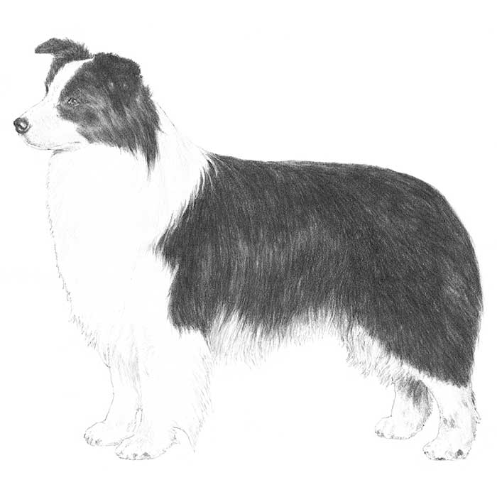 Border Collie Breed Standard Illustration