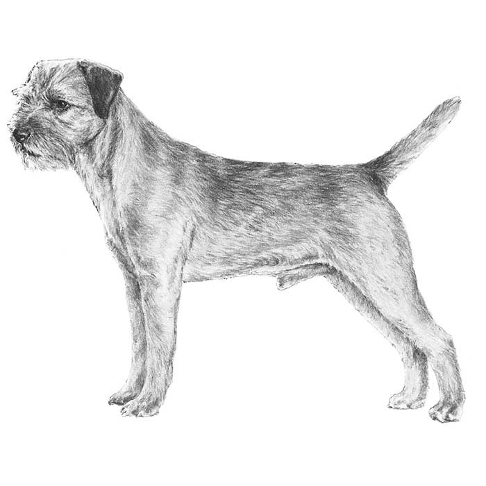 Border Terrier Breed Standard Illustration