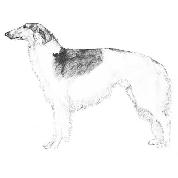 Borzoi Breed Standard Illustration