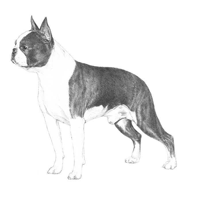 Boston Terrier Breed Standard Illustration