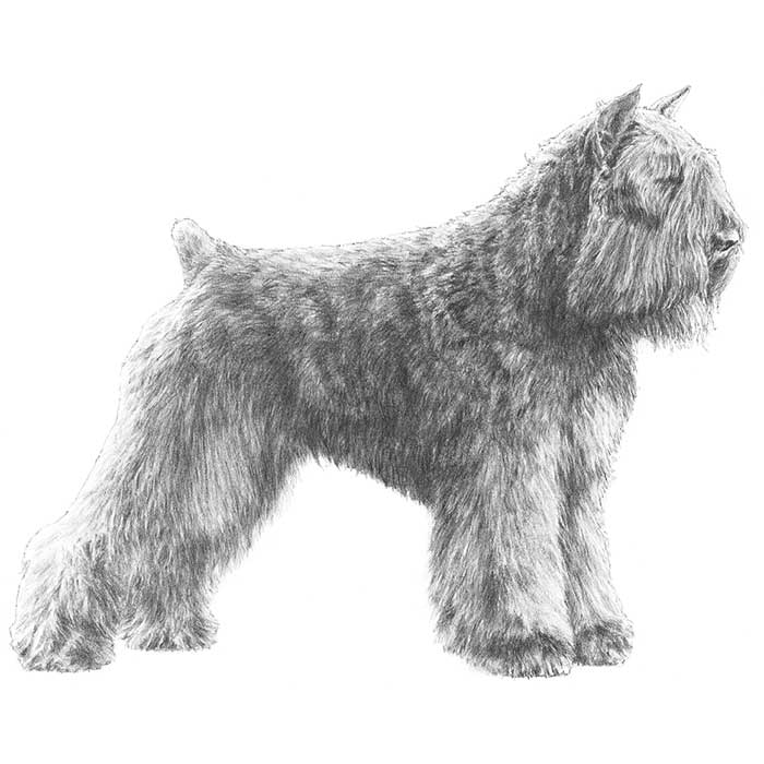 Bouvier des Flandres Breed Standard Illustration