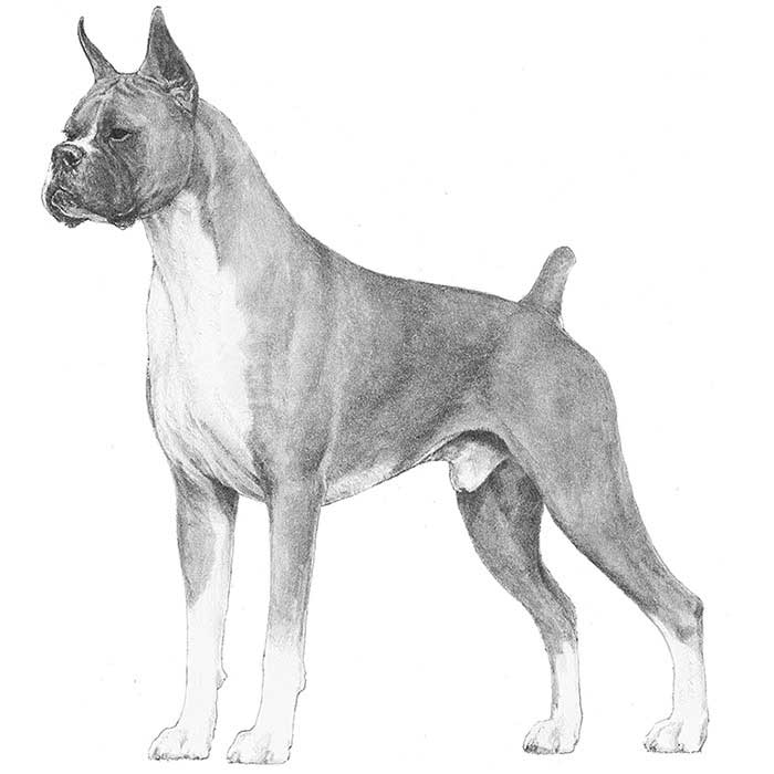 Boxer Breed Standard Illustration