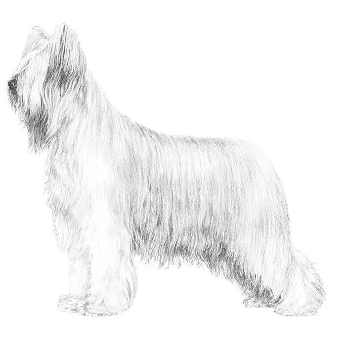 Briard Breed Standard Illustration