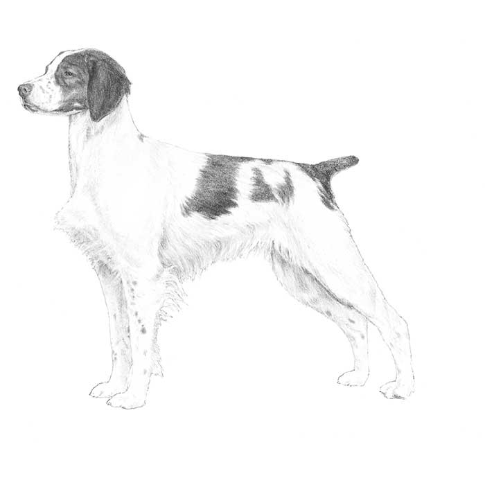 Brittany Breed Standard Illustration
