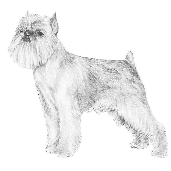 Brussels Griffon Breed Standard Illustration