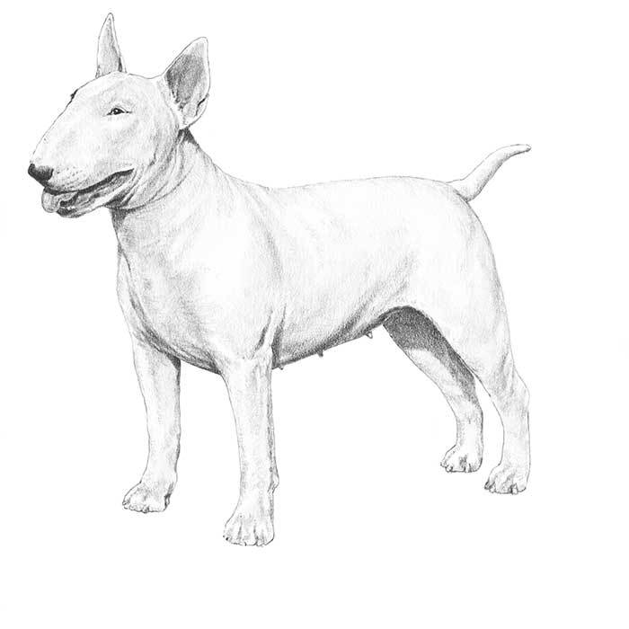 Bull Terrier Breed Standard Illustration