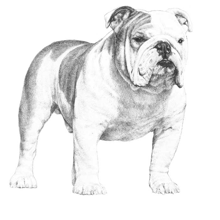 Bulldog Breed Standard Illustration