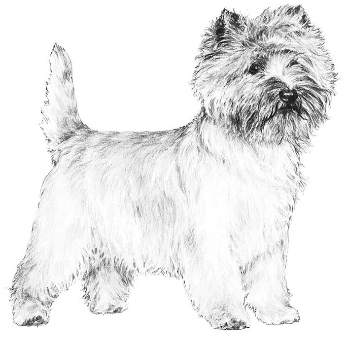 Cairn Terrier Breed Standard Illustration