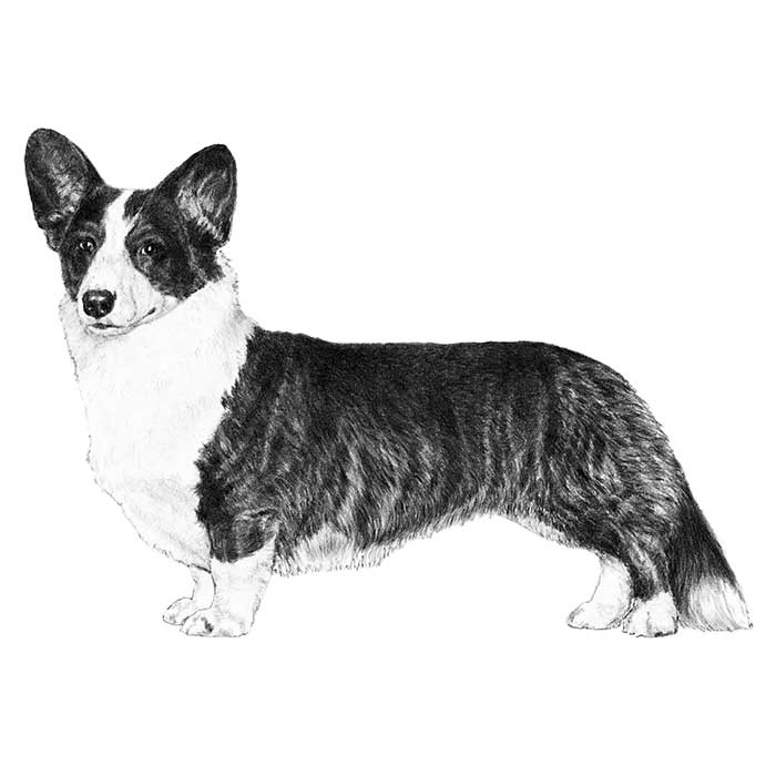 Cardigan Welsh Corgi Breed Standard Illustration
