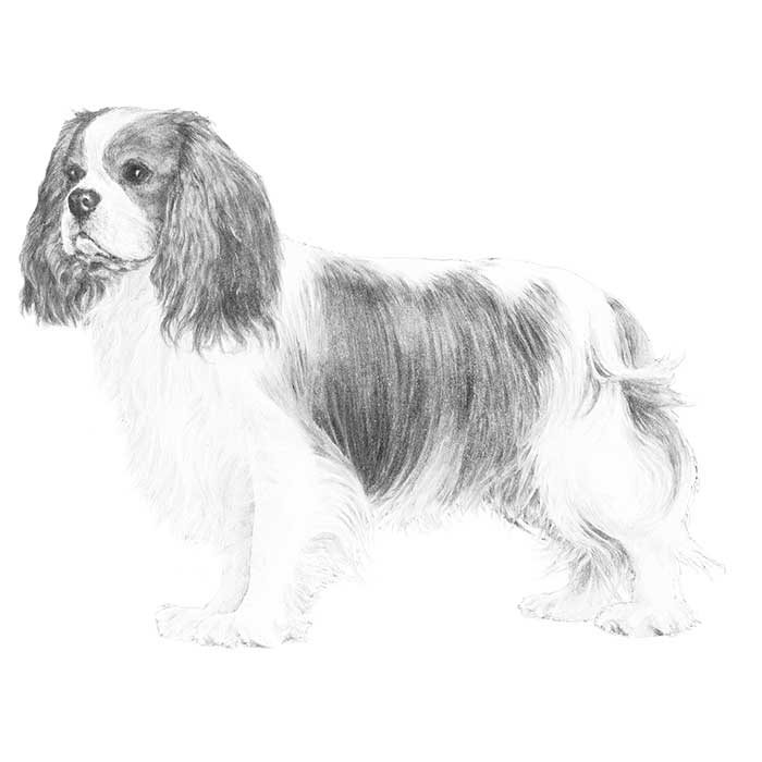 Cavalier King Charles Spaniel Breed Standard Illustration