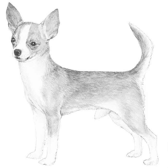 Chihuahua Breed Standard Illustration