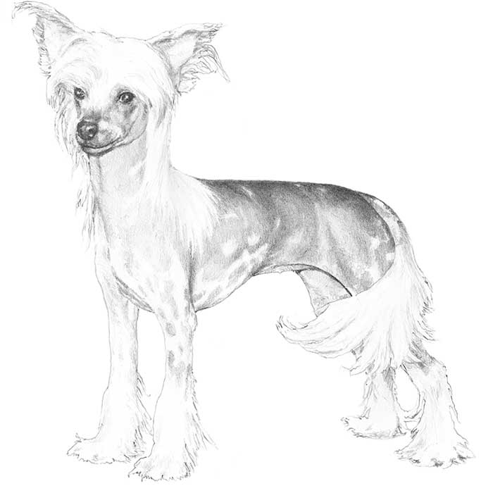 Chinese Crested Breed Standard Illustration