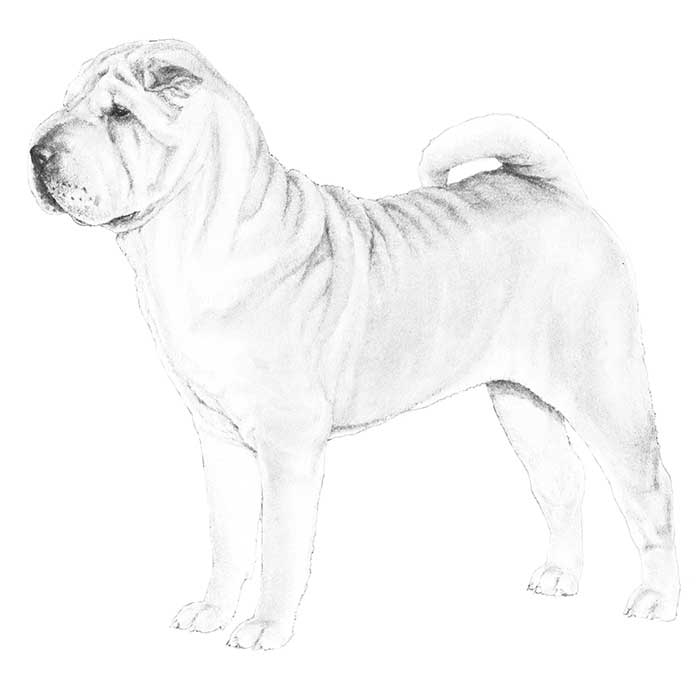 Chinese Shar-Pei Breed Standard Illustration