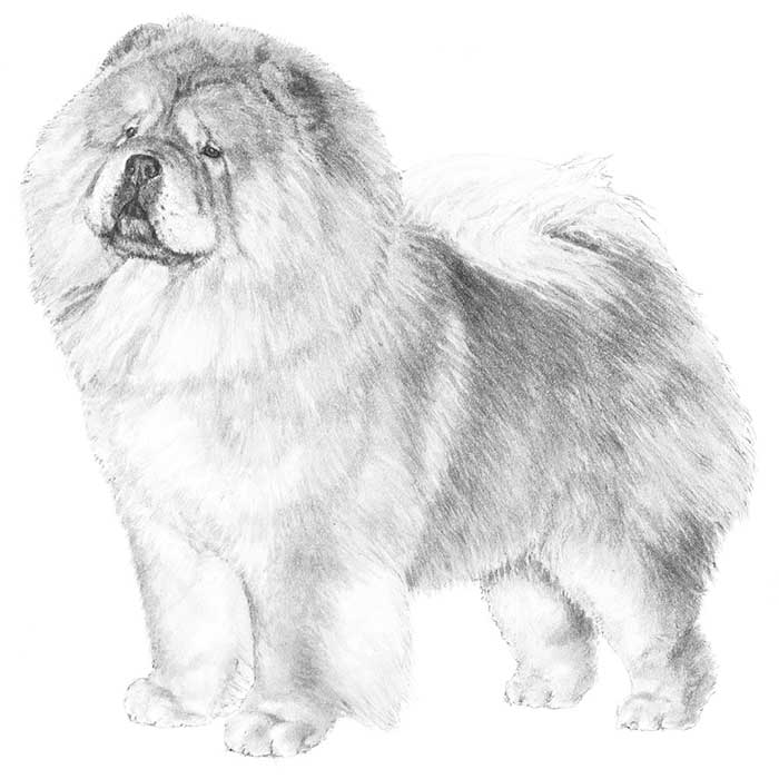 Chow Chow Breed Standard Illustration