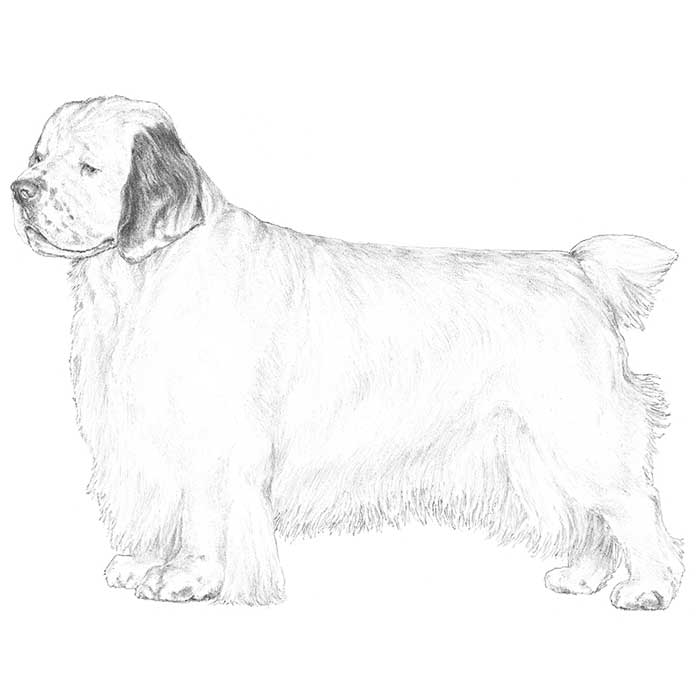 Clumber Spaniel Breed Standard Illustration