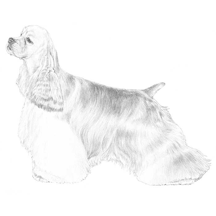 Cocker Spaniel Breed Standard Illustration