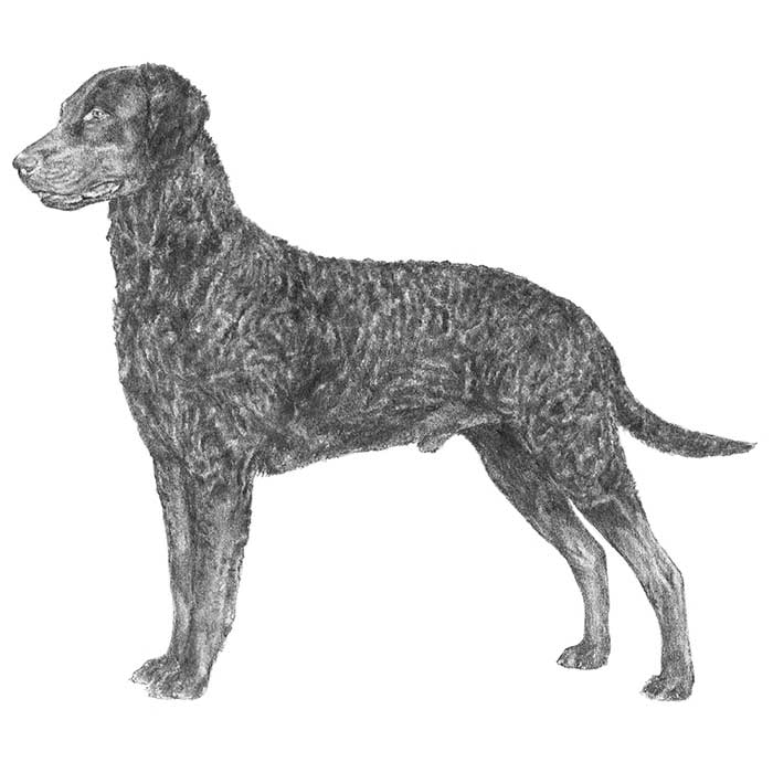 Curly-Coated Retriever Breed Standard Illustration