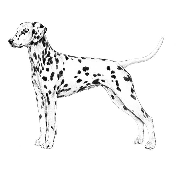 Dalmatian Breed Standard Illustration