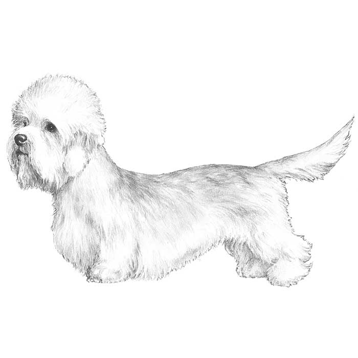 Dandie Dinmont Terrier Breed Standard Illustration